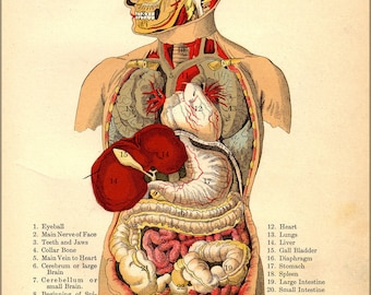 Poster, Many Sizes Available; Internal Organs Of The Human Body From The Household Physician, 1905 6404030777