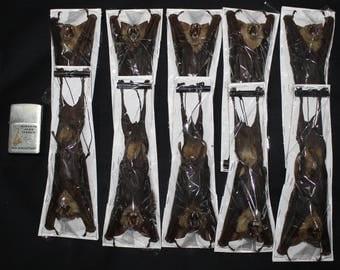 Taxidermy bat hanging bat Diadem-leaf nosed bat lots 10 pcs