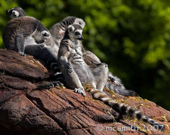 Ring-tail Lemur - Airing Out