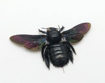 Giant Black Tropical Carpenter Bee Xylocopa Latipes Insect Specimen (F)