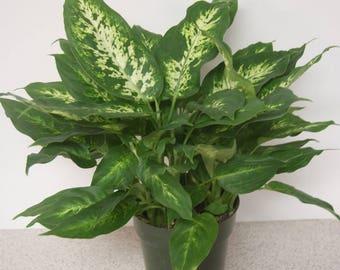 Camille Dieffenbachia aka Dumbcane Live Plant - Indoor Live Plant Fit 1QRT Pot