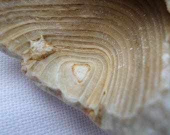 Fossil, found along the Atlantic ocean. Fossil ring holder. Cup fossil