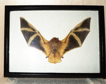 Taxidermy Kerivoula picta Orange in a frame from good wood.