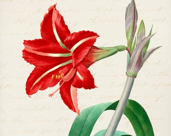 Holiday Amaryllis -Christmas Gifts -Prints for Decor -Holiday Art -Noel -Xmas -Flowers -Botanical -Tulips -Boxing Day