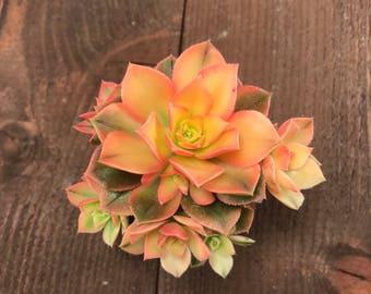 Succulent Plant - Aeonium Kiwi