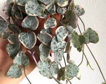 "Trailing succulent plant: Ceropegia woodii or ""String of hearts"" VARIEGATA"