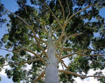 500 Eucalyptus grandis , Flooded gum Eucalyptus, Rose gum Eucalyptus
