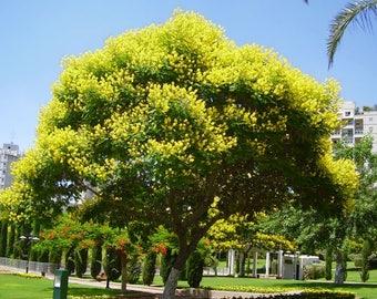 50 Peltophorum africanum, African wattle, weeping wattle Seeds,