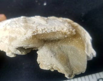 Fossilized calcite clam, Ruck's Pit,  Fort Drumm,  Florida