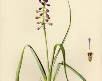 Vintage lithograph of the tassel hyacinth or tassel grape hyacinth from 1954