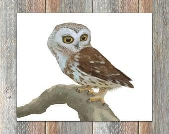 Northern Saw-whet Owl Bird Print