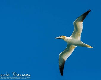 Photograph of a madman of gannets 20 x 30 cm