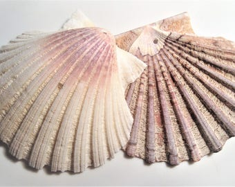 Carefully selected and manually drilled big scallop shells. Suitable for home decoration and all sorts of craft. 2 pieces in natural colours