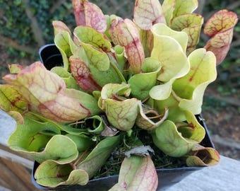 Sarracenia purpurea Carnivorous Pitcher Plant Bare Root Division