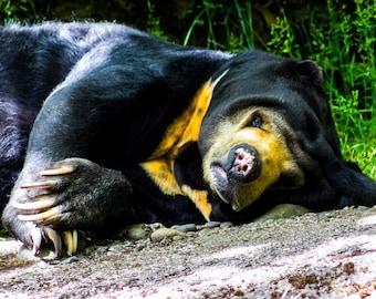 Resting Sun Bear