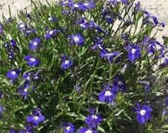 Lobelia- Mrs. Clibran- 100 Seeds
