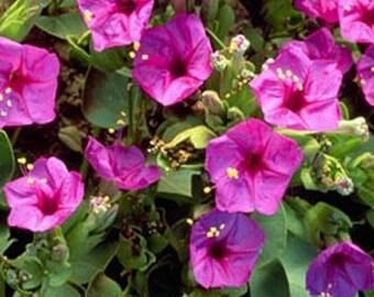Four O'clock- Pink- 50 Seeds