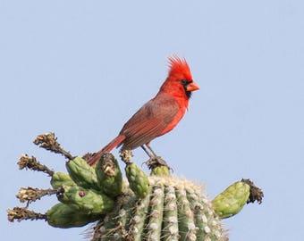 Cardinal Print, Saguaro Print, Cardinal Photography, Bird Photography, Nature Prints, Cardinal Wall Art, Cardinal Art, Cardinal fine art