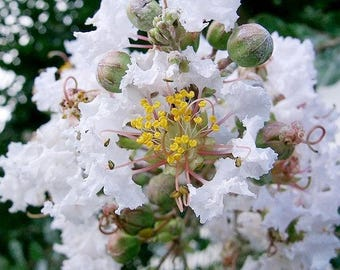 25 + white Crepe myrtle seeds