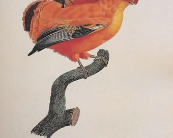 Guianan Cock-of-the-Rock,  1990s Reproduction Colorplate, Book Plate, 10 x 14 in. Book Page Print, Bird Print, Ornithology Print