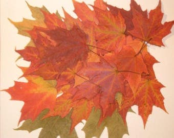 50 Large Size Red Orange Green Yellow Sugar Maple Leaves, Use as Wedding Place Cards, Thanksgiving Decorations, Fall Weddings, Fall Decor