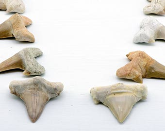 Prehistoric Megalodon Shark Tooth Fossil - Stone of Protection & Divine Calm