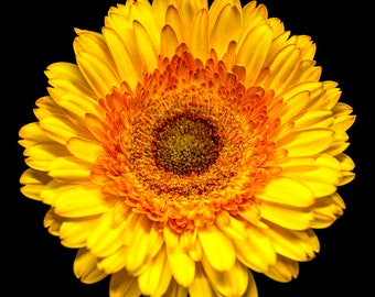 Yellow Daisy, Nature Print, Flower Photography, Wall Art Prints - floral photograph, Gerber daisy, sunshine yellow, orange, red, nursery art