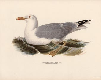 1924 SEAGULL BIRD print - original antique bird print - gorgeous color lithograph - von Wright Swedish ornithology - Herring Gull