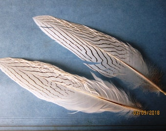 "Two Silver Pheasant feathers 8-9""  long good quality"