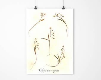Real Pressed Spring Beauty Botanical Art - Herbarium