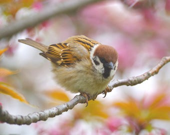 Fine Art Photography Cherry blossoms and Tree Sparrow