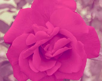 Rose Blossom, Extreme Pink, Fine Art Print, Magenta, Roses Photograph, Full Bloom, Flower Photography, Floral Home Decor, Square Prints