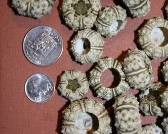 "Small Sea Urchins Seashells Urchin Loose Sea Life Supplies Coastal Decor Arts Crafts Collections Free Shipping, 1/2"" to 1 1/4"", #26"