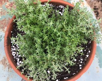 Orange Balsam Thyme, Live Plant, Herb Garden Thyme, Naturally Grown Orange Thyme, Great for Container Gardens and Indoor Herb Gardens