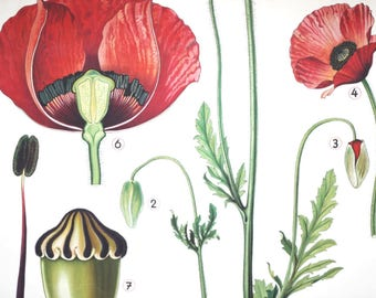 botanical illustration school chart vintage of red poppy Papaver rhoeas large poster wall hanging german germany