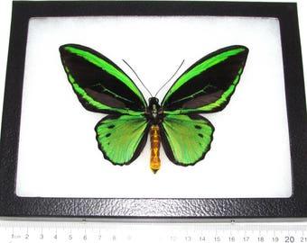 REAL framed butterfly green black Ornithoptera priamus poseidon birdwing Arfak Indonesia