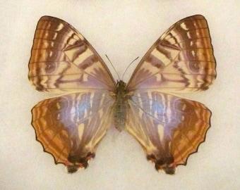 ONE real butterfly purple pink Morpho sulkowski female Peru