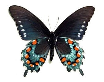 ONE real butterfly blue Battus philenor pipevine swallowtail verso