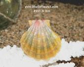 31 mm Hawaiian Sunrise shell #255