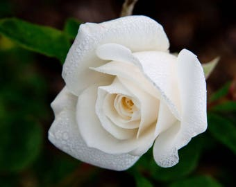 White miniature rose seeds,171,flower roses seeds, roses from seeds,planting roses,growing roses from seeds,seeds for roses