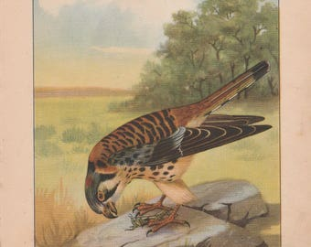 Sparrow Hawk/Red Shouldered Hawk Antique Bird Print Double Sided 1926 R. E. Todhunter