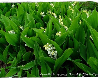 Convallaria majalis 'Lily Of The Valley' [Ex. Ralská pahorkatina 380 m., Czech Republic] 30 SEEDS