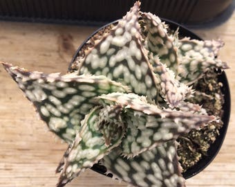 Succulent Plant Medium Snow Storm Aloe. A beautifully colored and shaped plant.