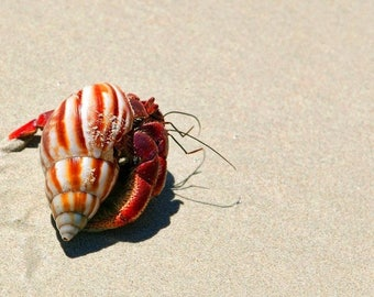 Laminated placemat hermit crab