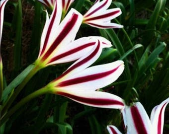 Large Crinum bulb - Crinum Lily-- Striped