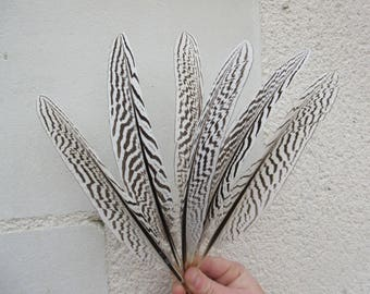 Wings Black 17-25cm white stripes 3pcs silver pheasant feathers, natural