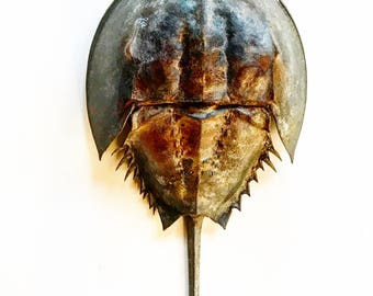 Horseshoe Crab Photography Print