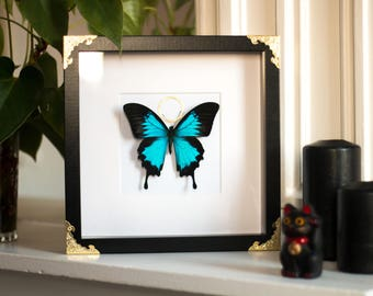Framed butterfly, Papilio ulysses