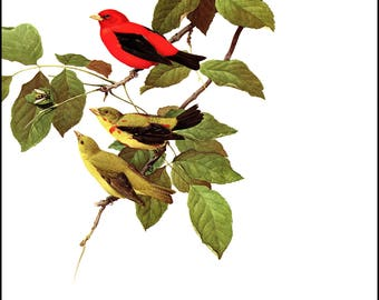 Scarlet Tanager painted by J F Landsdowne for Birds of the Eastern Forest. The page is approx. 9.5 inches wide and 13 inches tall.