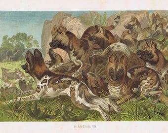 antique print hyena 1892